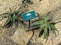 Aloe zebrina - Des Moines Botanical Center - Iowa, USA.jpg