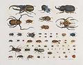 Aloys Zötl Insecten (Käfer).jpg