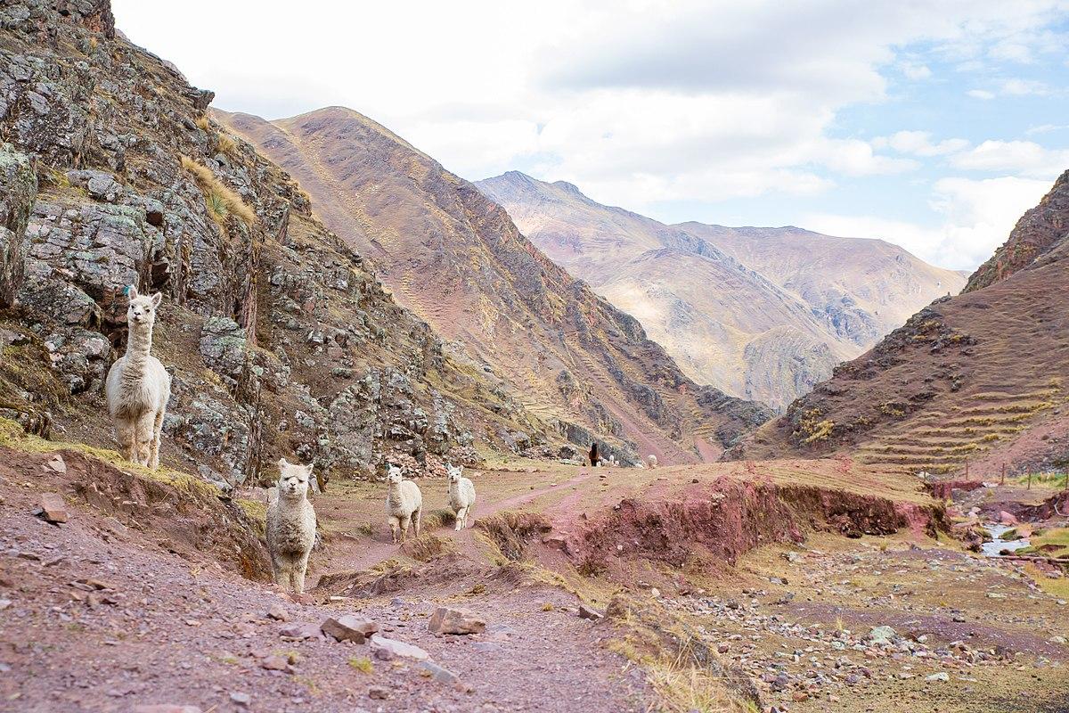 Alpacas in the mountains.jpg