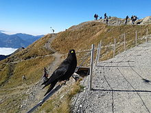 Alpine choughs on the railing of a mountain hiking trail