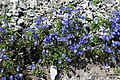 Alpine flora - a tiny harebell (Gru) (36879812114).jpg