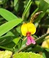 Alysicarpus bupleurifolius 05.JPG