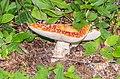Amanita muscaria near Lac de Mines d'Or (3).jpg
