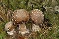 Amanita pantherina (29972095542).jpg