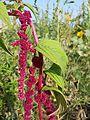 Amaranthus caudatus sl6.jpg