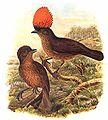 Amblyornis subalaris by Bowdler Sharpe.jpg