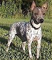 American Hairless Terrier 001.jpg