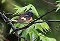 American Redstart (47838106931).jpg