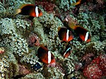 Amphiprion melanopus (Red and black anemonefish) in Entacmaea quadricolor (Bubble sea anemones).jpg