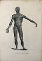 An écorché figure with left arm extended, seen from the fron Wellcome V0008200EL.jpg