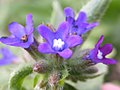 Anchusa officinalis (3703459569).jpg