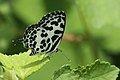 Andaman41Andaman Common pierrot (7999682218).jpg