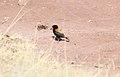 Andean Negrito (Lessonia oreas) (9496811323).jpg