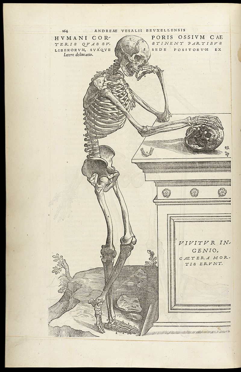 16th century illustration of a human skeleton by Andreas Vesalius. While Vesalius's work was groundbreaking at the time, the (lack of) curve of the spine and pelvic tilt is more similar to a person lying supine as opposed to standing.