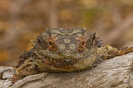 Eastern bearded dragon - Wikipedia