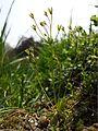 Androsace elongata sl20.jpg