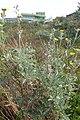 Andryala pinnatifida kz15.jpg