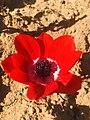 Anemone coronaria flower in Turkey.jpg