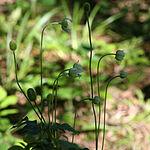 Anemone virginiana 3321.jpg