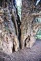 Ankerwycke-Yew-east-view.jpg