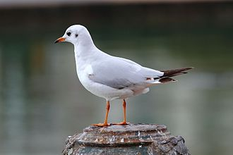 Black-headed gull - Adult winter plumage