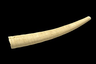 Dentaliidae - Antalis vulgaris