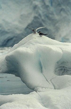 Sterna vittata, Antarctica