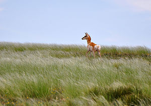 Kiowa National Grassland - Pronghorn Antelope, Kiowa National Grasslands