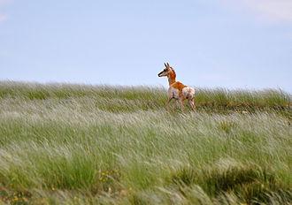 Kiowa National Grassland - Pronghorn Antelope, Kiowa National Grasslands