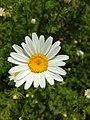 Anthemis cotula inflorescence (04).jpg