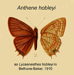 Anthene hobleyi.jpg