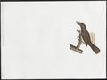 Anthochaera carunculata - 1782-1825 - Print - Iconographia Zoologica - Special Collections University of Amsterdam - UBA01 IZ19200045.tif