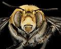 Anthophora affabilis, M, face, Pennington County, South Dakota 2012-11-15-16.21.13 ZS PMax (8203042364).jpg