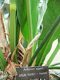 Anthurium eggersii