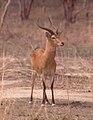 Antilope-boundiali.jpg