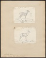 Antilope dorcas - 1700-1880 - Print - Iconographia Zoologica - Special Collections University of Amsterdam - UBA01 IZ21400059.tif