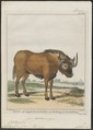Antilope gnu - 1700-1880 - Print - Iconographia Zoologica - Special Collections University of Amsterdam - UBA01 IZ21400283.tif