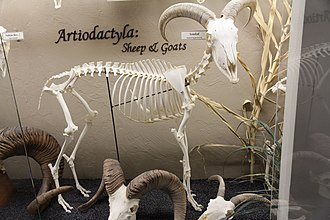 Caprinae - Skeleton of a Barbary sheep (Ammotragus lervia) on display at the Museum of Osteology.