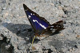 Apatura iris Weinsberg 20080614 2.jpg