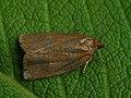 Aphelia viburnana - Bilberry tortrix - Листовёртка калиновая (42902665565).jpg