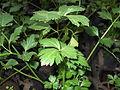 Apium graveolens-Sunny brook-yercaud-salem-India.JPG