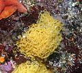 Aplysia californica, huevos.jpg