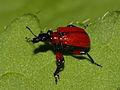 Apoderus coryli (Apoderinae) (7569318470).jpg