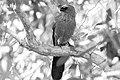 Apostle bird 3 (14792704515).jpg