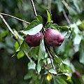 Apple Malus purple crabapple Clavering Essex England 1 (cropped).jpg
