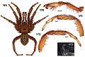 Aptostichus muiri anatomy.jpg