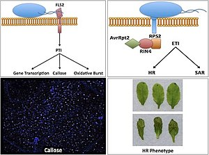 English: Plant Pathology in Arabidopsis thaliana