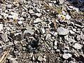 Arabidopsis petraea sl6.jpg