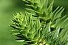 Araucaria araucana-detail.jpg