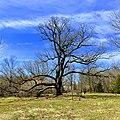 Arbutus Oak square view.jpg